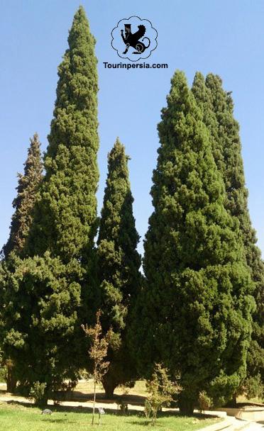 The Cedar Trees In Eram Garden