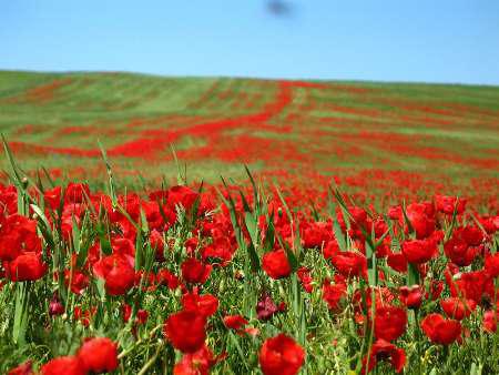 گلهای لاله در سوسن
